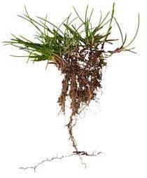 semilla cesped natural festucas valladolid