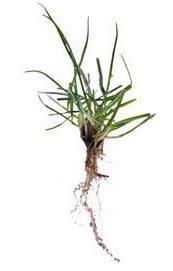 semilla cesped natual raygrass valladolid